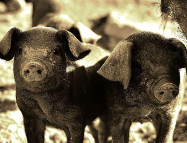 Kintoa - à la rencontre des cochons du Pays BAsque - visite insolite Pays Basque