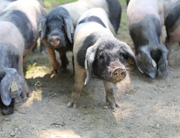 Porc Kintoa, Découverte jambon kintoa pays basque txiki combi